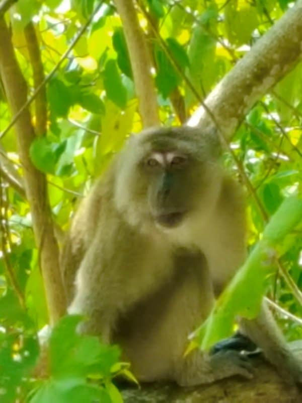 Monkey in the Mangroves